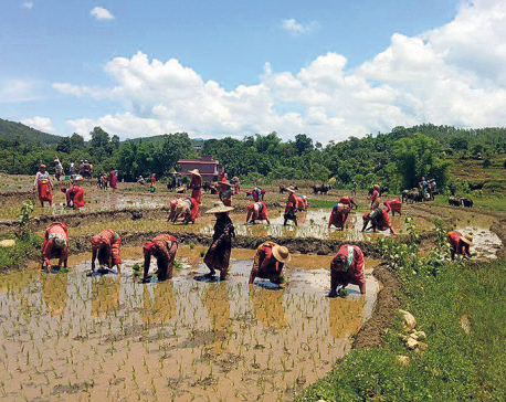 Paddy plantation down by 5 percent