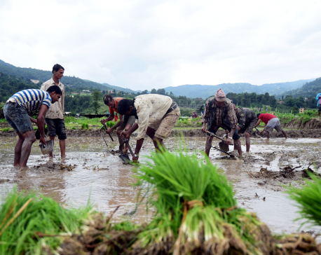 Farmers wait for chemical fertilizers weeks after rice plantation is over