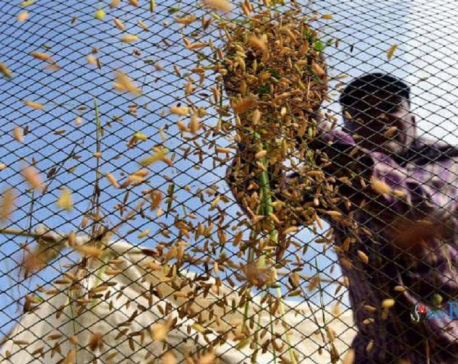 IN PICS: Farmers busy harvesting paddy in Sankhu