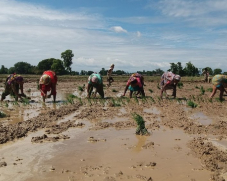 Early rains damage paddy seedlings in Parsa