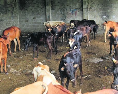 Roaming cattle cause traffic chaos in Pokhara