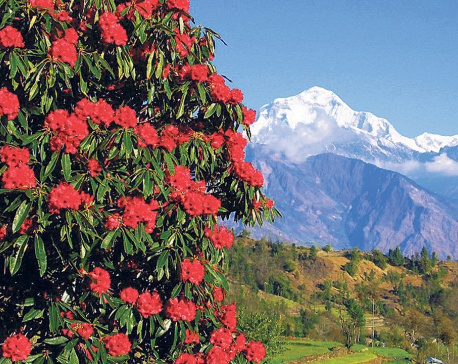 Local authorities make it illegal to pluck rhododendron in Poon Hill area