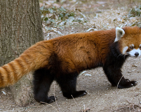 Rs 6.8 m allocated for red panda conservation in 2018