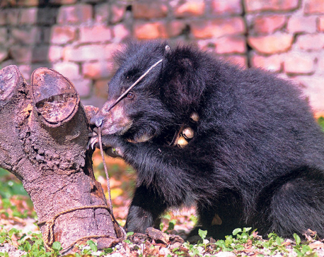 Wild bear electrocuted in Chure range