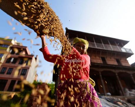PHOTOS: Reaping rice