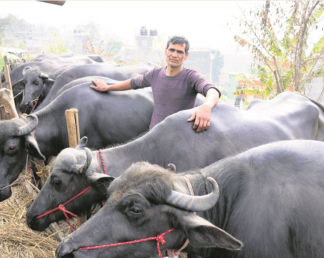 A buffalo farmer in Bhaisepati