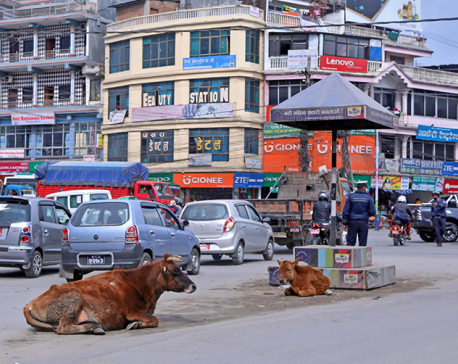 Pokhara city starts ear-tagging cattle