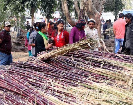Consumption of sugarcane increases during Maha Shivaratri