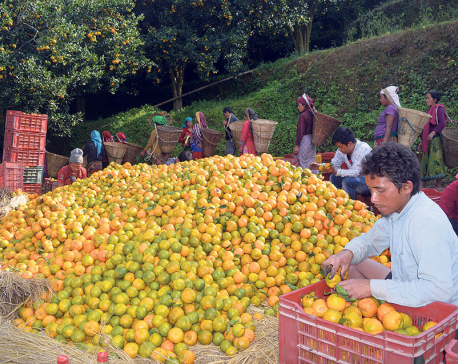 Oranges worth Rs 290 million produced in Tanahun