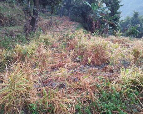 Low price worries ginger farmers in Taplejung