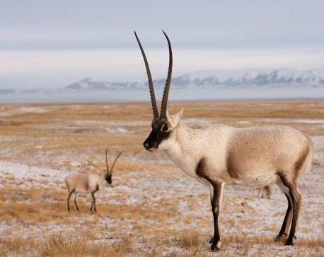 Five men get 10 years for smuggling of Tibetan Antelope