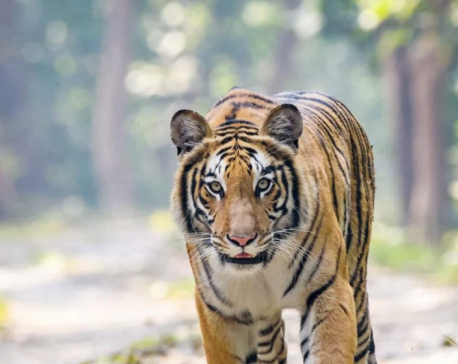 Two killed in tiger attack in Bardiya