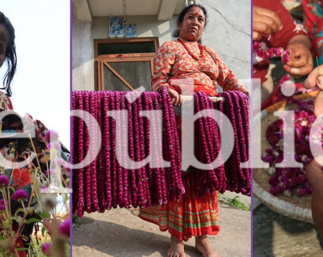 IN PICS: Farmers in Bhaktapur busy picking 'makhamali' flowers for Tihar