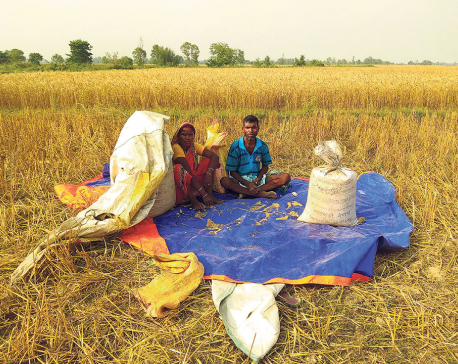 Parsa wheat farmers facing huge losses