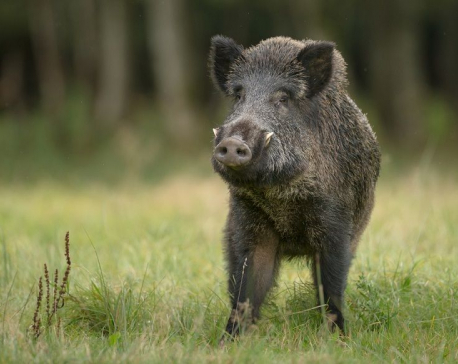 Four injured in wild boar attack in Dang