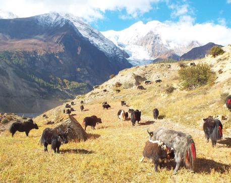 Gurung becomes millionaire thru yak farming