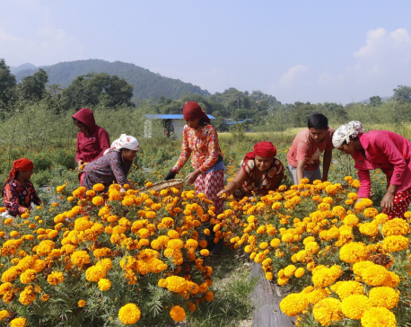 IN PICS: Marigold blooms for Tihar in Tanahu