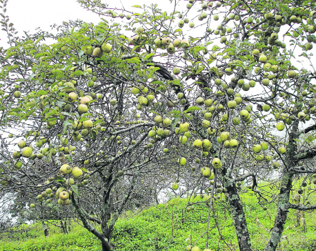 Apple production declines in Rasuwa