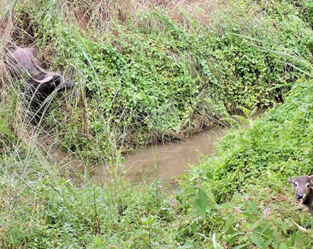 Another wild water buffalo gives birth to a baby calf in CNP