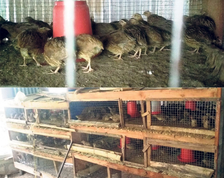 Dhading farmers turn to quail farming