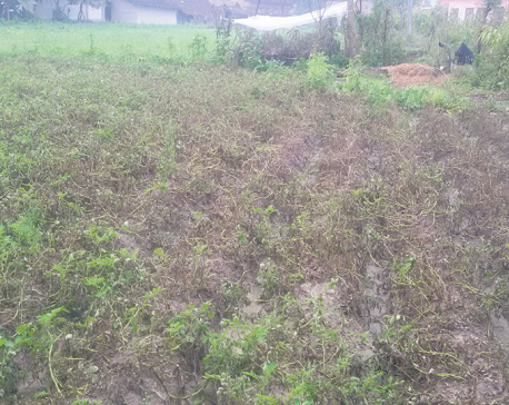 Blight, cold wave damage potato plants in Kailali, Kanchanpur