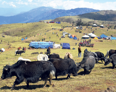 Chauri festival: A unique opportunity to be with the yaks in their abode