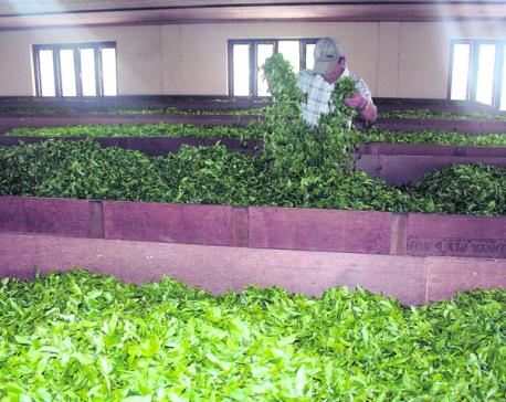 Better yield brings joy to tea estates