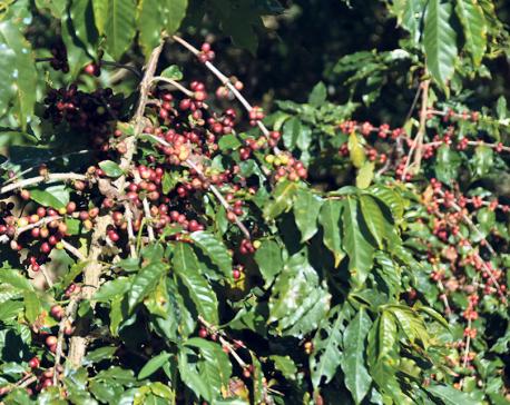 Heavy rains, frost damage coffee plants