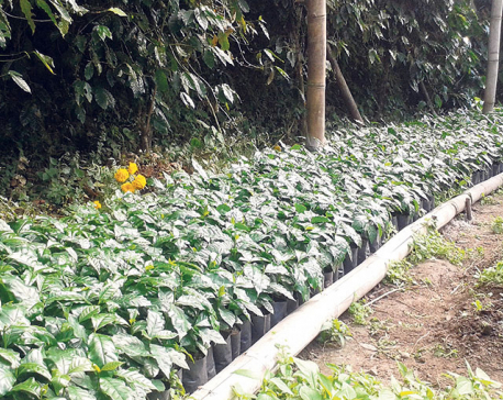 Coffee production fails to rise