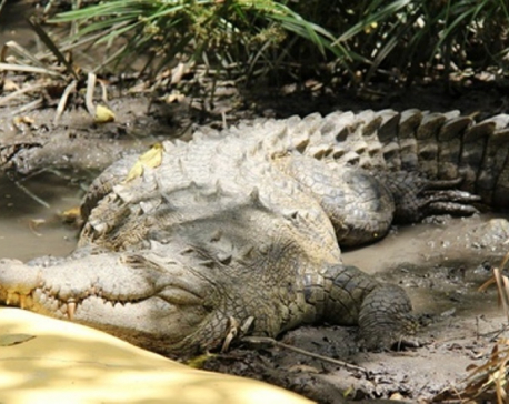 Three crocodiles found dead in Chitwan
