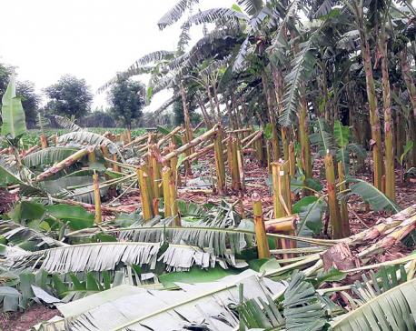 Unidentified group destroys banana plantations in Chitwan