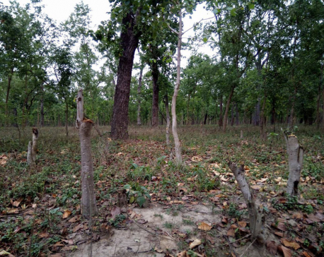 Rampant deforestation threatens community forests in Kailali