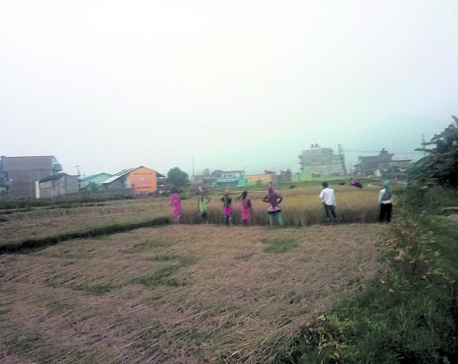 Paddy production in Sindhuli to go up 10%: DADO