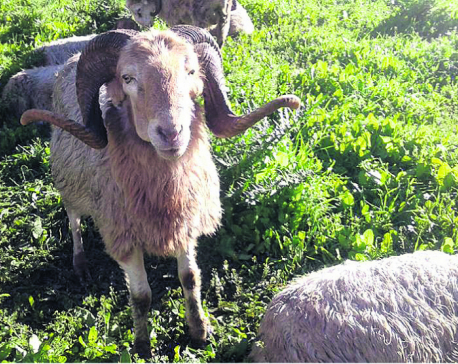 Farmers attracted to sheep farming in Myagdi