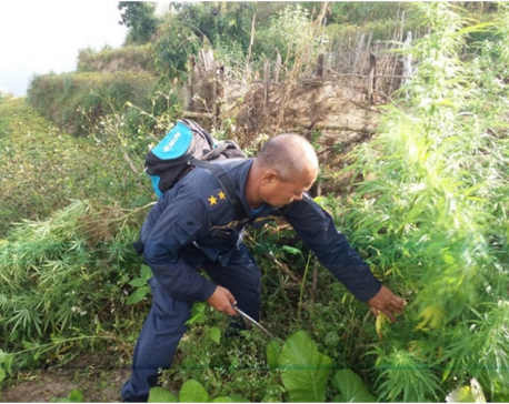 Police destroy marijuana in Udayapur