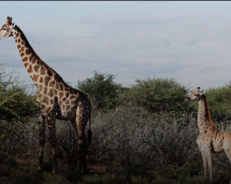 Scientists surprised to discover two dwarf giraffes in Namibia, Uganda