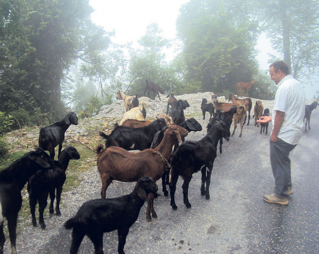 Goat farming changes lives of Baitadi farmers
