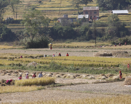 Harvesting paddy  (photo feature)