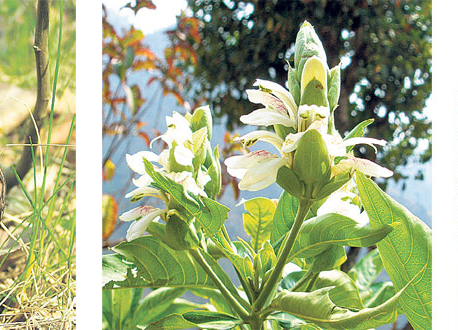 Nepal yet to cash in on global demand for herbs