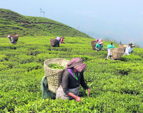 Human resource crunch affecting Ilam's tea business