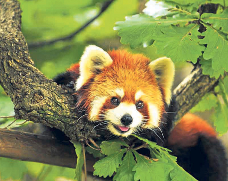 Hunters of red pandas start protecting the endangered species