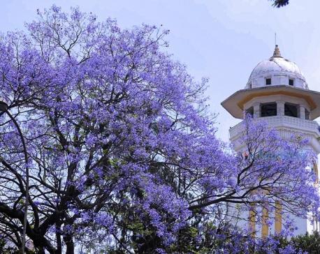 PHOTOS: When jacaranda blooms, beautiful Kathmandu shines