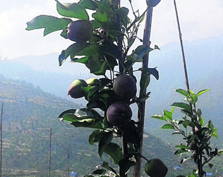 Jumla farmers start growing Italian Fuji apples