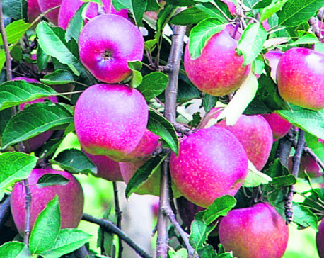 Jumla apple production area expanding