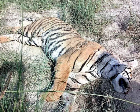 Rare spotted tiger found dead