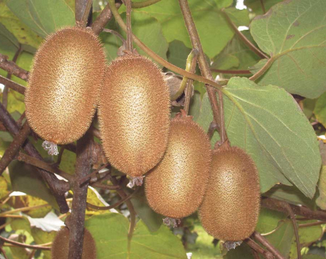 Kiwi Fruit Farming: A Better Prospect of Earning in Nepal