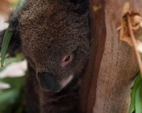 Koalas, wallabies endangered by Australia bushfires 'ecological disaster'