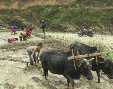 Children from Kumal community engage in agricultural activities