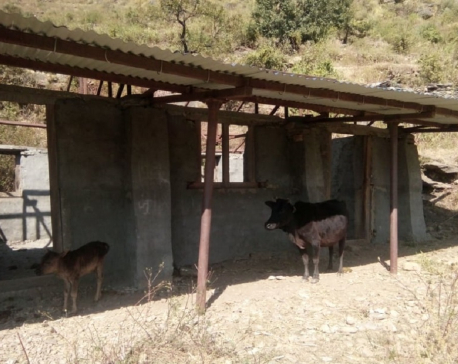 School building in Mugu turns into cow shed (with photos)