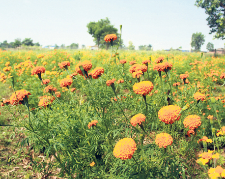 Commercial flower farming for Tihar on the rise